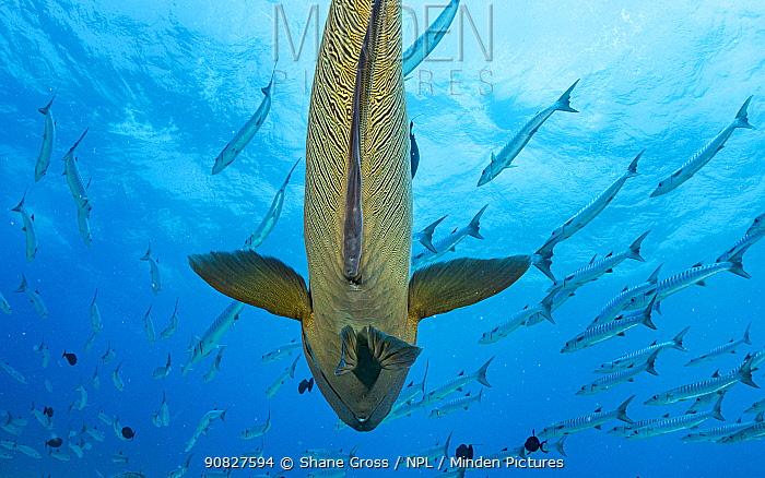 Napoleon wrasse (Cheilinus undulatus) under a school of Blackfin barracuda (Sphyraena qenie) at Blue Corner, Palau.