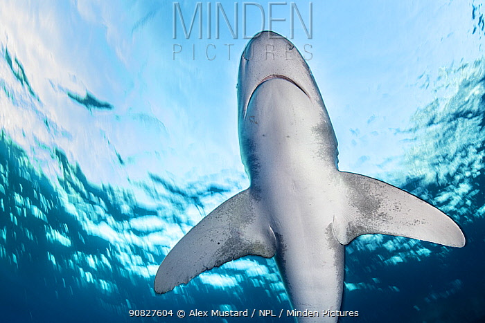 RF - Portrait of an oceanic whitetip shark (Carcharhinus longimanus) swimming beneath the surface. Egypt. Red Sea. (This image may be licensed either as rights managed or royalty free.)