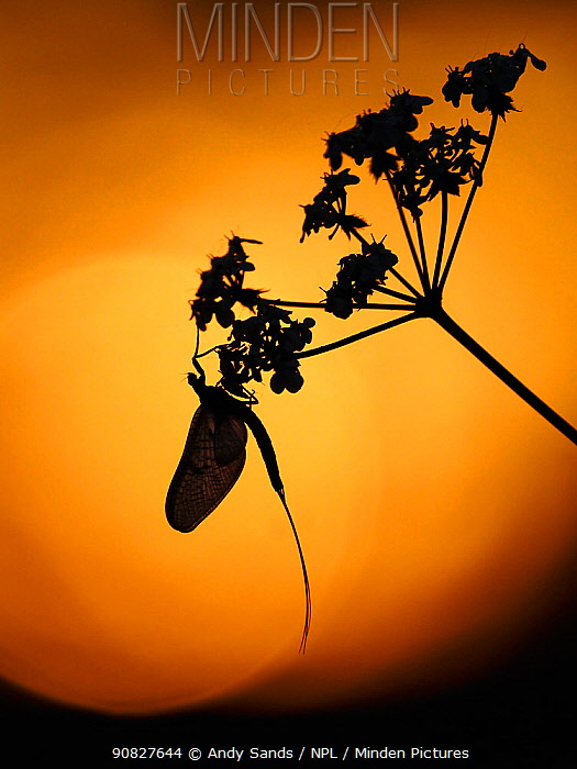 RF - Mayfly (Ephemera danica) roosting on Hogweed at Sunset, Hertfordshire, England, UK, May (This image may be licensed either as rights managed or royalty free.)