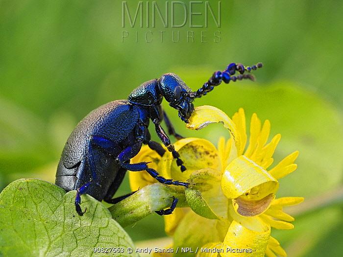 Black oil beetle (Meloe proscarabaeus) feeding on flower of Lesser cellandine (Ficaria verna), Gower, Wales, UK, February