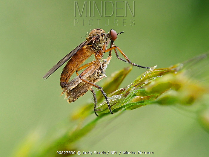 Dance Fly (Empis opaca) Feeding on Micro Moth, Hertfordshire, England, UK, April