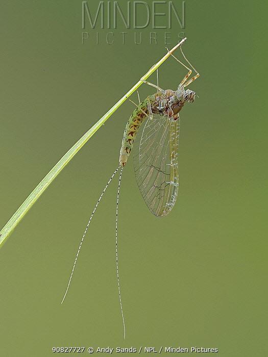 Pond olive mayfly (Cloen dipterum) adult resting on stem, Hertfordshire, England, UK, June - Focus Stacked