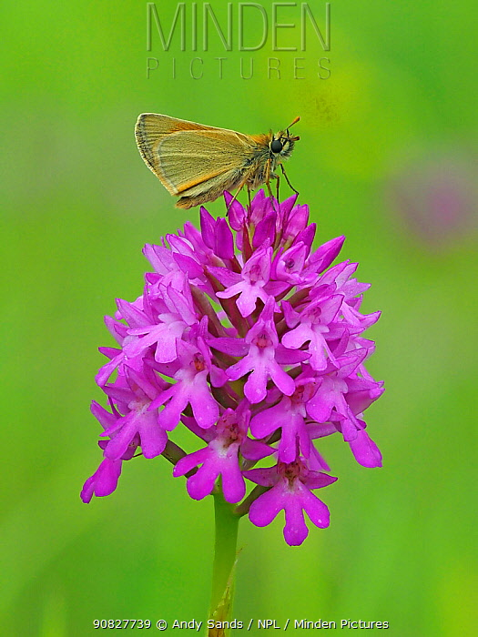 Small skipper butterfly (Thymelicus sylvestris) perched on top of Pyramidal orchid (Anacamptis pyrimidalis) Hertfordshire, England, UK, June