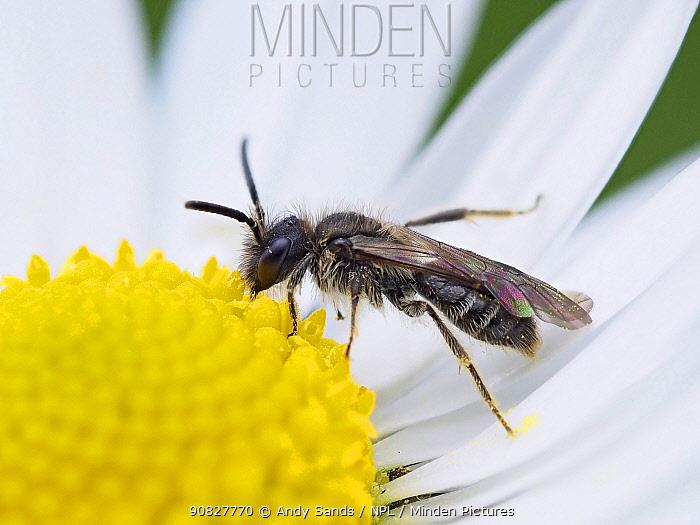 Mini-mining bee (Andrena minutula) very small Microandrena species feeding on Daisy flower (Bellis perennis), Essex, England, UK, March