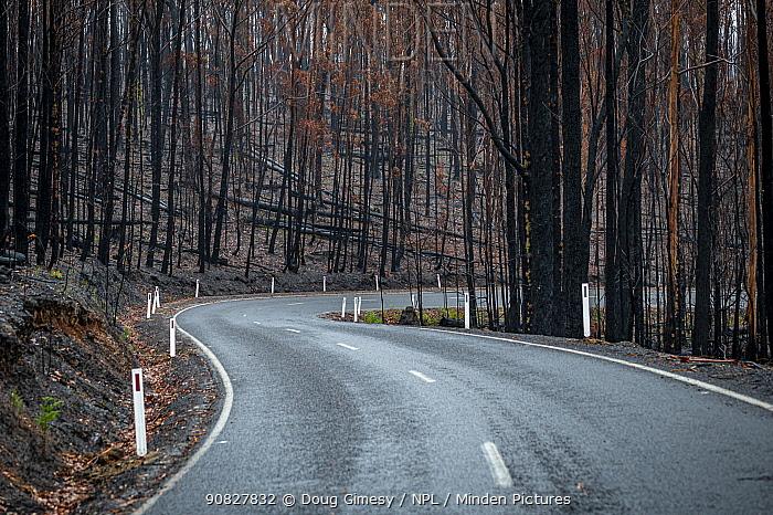 Bonang Road near Orbost after bushfires (December 2019/January 2020) devastated the area. Orbost, Victoria, Australia. February 2020.