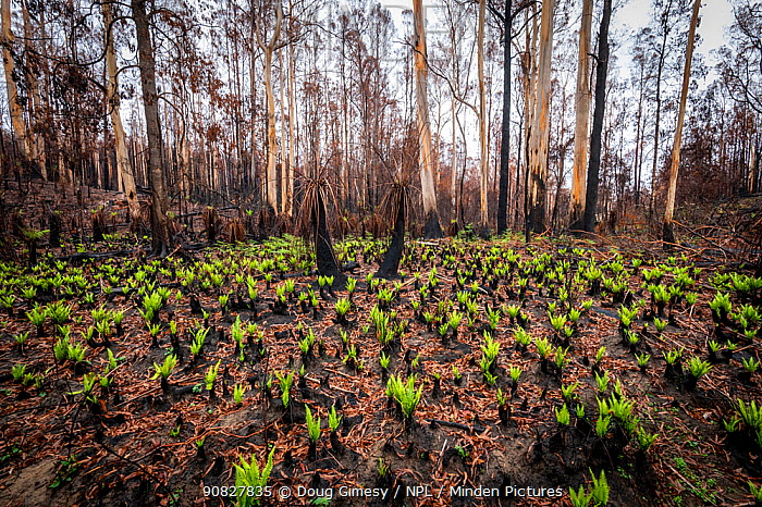 Hard tree ferns (Blechnum sp.) sprouting in burnt forest after 2019/20 bushfires devastated the area. Damaged Eucalyptus trees and soft tree ferns in the background. ?Martins Creek Scenic Reserve, Nurran, Victoria, Australia. February 2020.