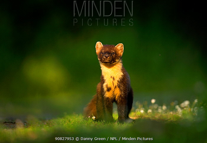 RF - Pine marten (Martes martes) portrait. Scotland, UK. July (This image may be licensed either as rights managed or royalty free.)