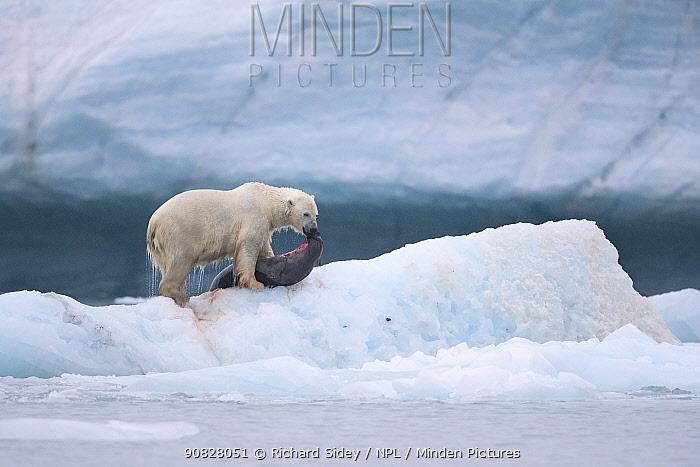 Polar bear (Ursus maritimus) feeding on Harp seal (Pagophilus groenlandicus). Croker Bay, Devon Island, Nunavut, Canada. August.