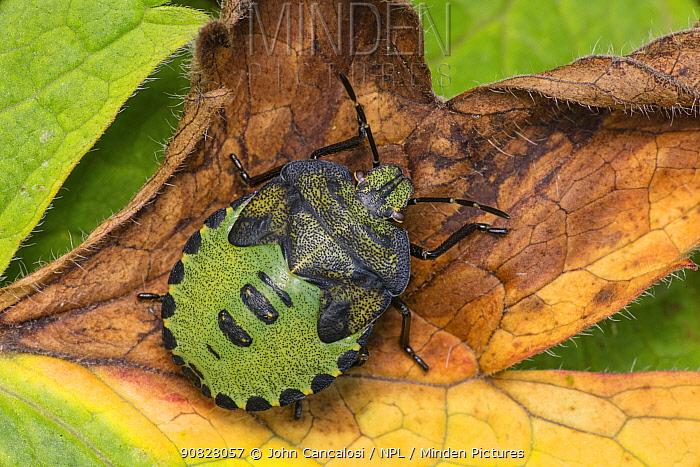 Green shield bug (Palomena prasina), Castlewellan Forest Park, County Down, Northern Ireland, UK