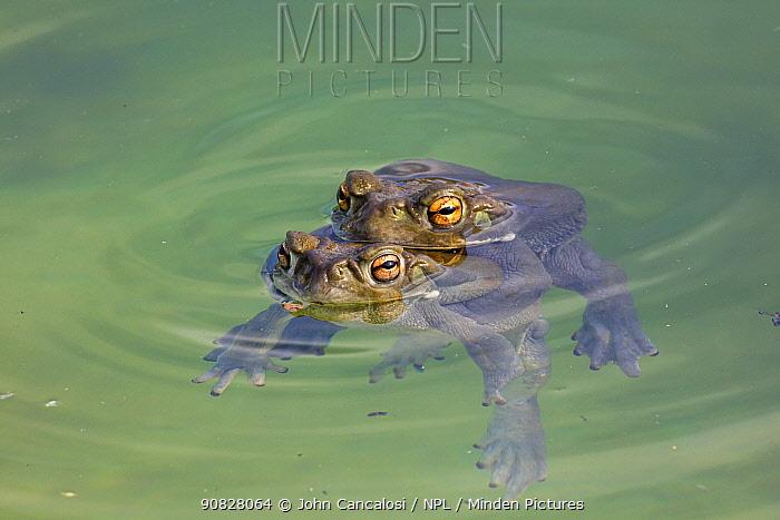 Sonoran desert toads (Incilius alvarius), pair in amplexus, Sonoran desert, Arizona, USA.