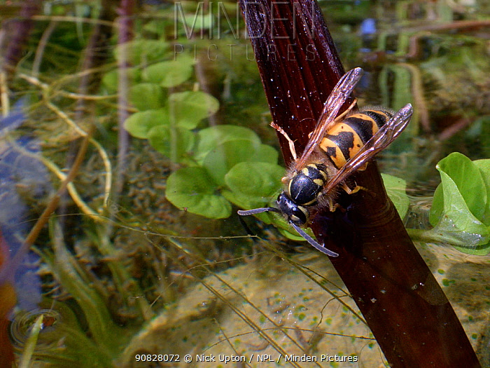 Common wasp (Vespula vulgaris) drinking water from a garden pond, Wiltshire, UK, July.