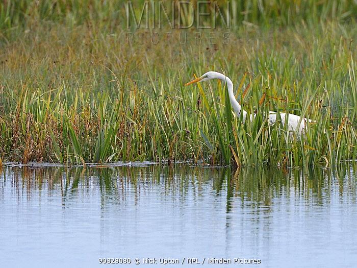 Great white egret (Egretta alba) hunting for fish in a marshland pool, Somerset Levels, UK, October.