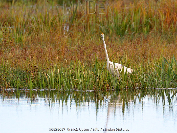Great white egret (Egretta alba) hunting for fish in a marshland pool with its neck stretched to its full extent Somerset Levels, UK, October.