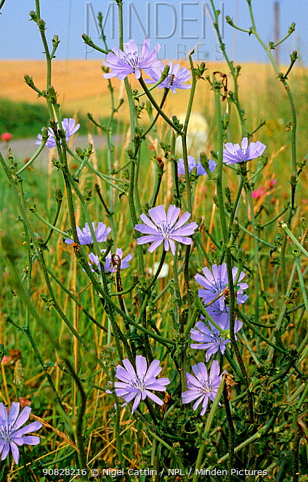 Blue flowers of common chicory (Cichorium intybus) by a roadside in France