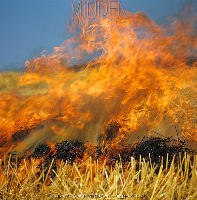 Fierce flames from straw stubble burning after a cereal harvest in 1980s to save time and for disease hygiene in the following crop, now banned