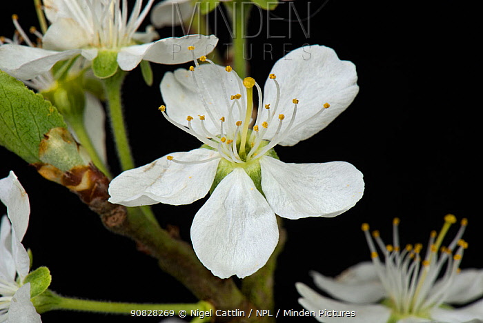 White flowers of a Victoria plum (Prunus domestica) with anthers, stamens, style and stigma, with leaves unfolding in early spring, Berkshire, England, UK, April.