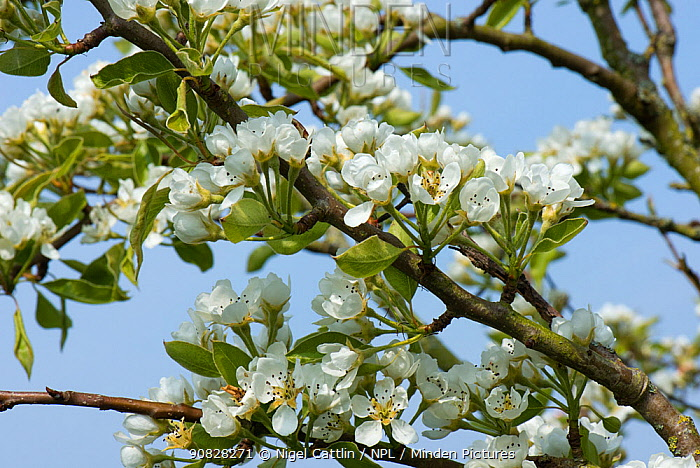 Blossom on a Pear tree (Pyrus) on a fine spring day, the green leaves are just developing, Berkshire, England, UK, April