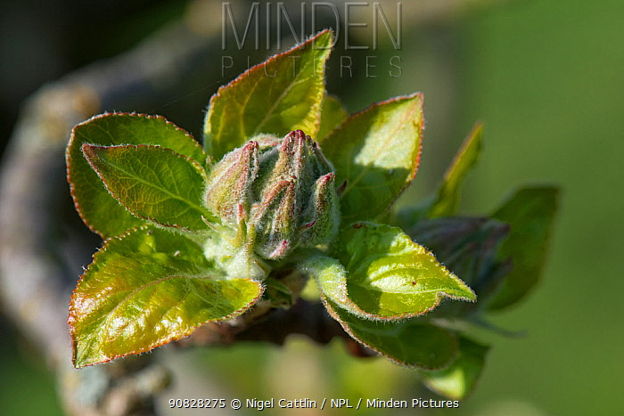 Young green Apple (Malus domestica) flower and leaf cluster in spring, Berkshire, England, UK, April