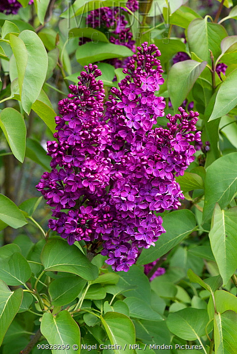 Attractive flowers on a Lilac (Syringa vulgaris) on an ornamental garden tree in full bloom, Berkshire, England, UK. April