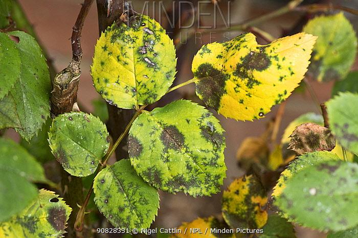 Black spot (Diplocarpon rosae) a fungal disease on rose leaves, Berkshire, England, UK, May