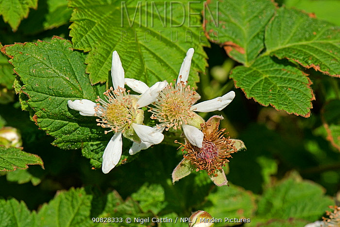 White flower petals and stamens at various stages on flowers and leaves of a blackberry bramble (Rubus fructicosus), Berkshire, England, UK, May