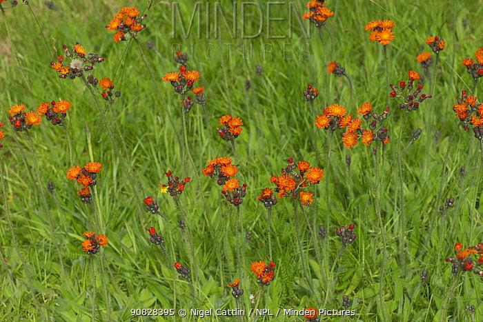 Orange hawkbit (Pilosella, aurantiaca) flowering in a garden lawn, Berkshire, England, UK, July
