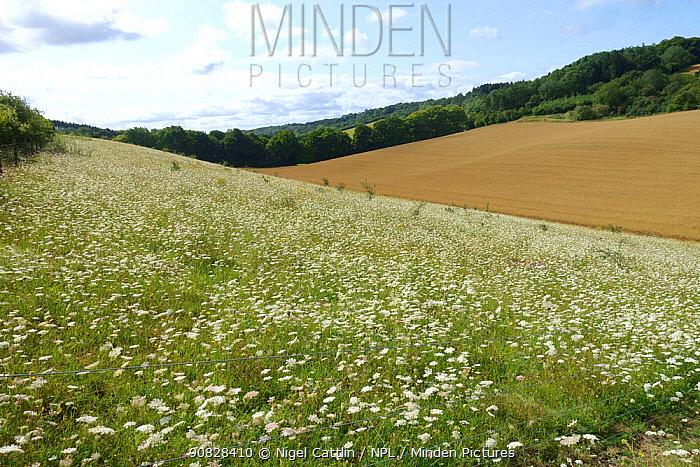 A field of white flowering wild carrot (Daucus carota) plants attractive to many invertebrate species , Berkshire, England, UK, August