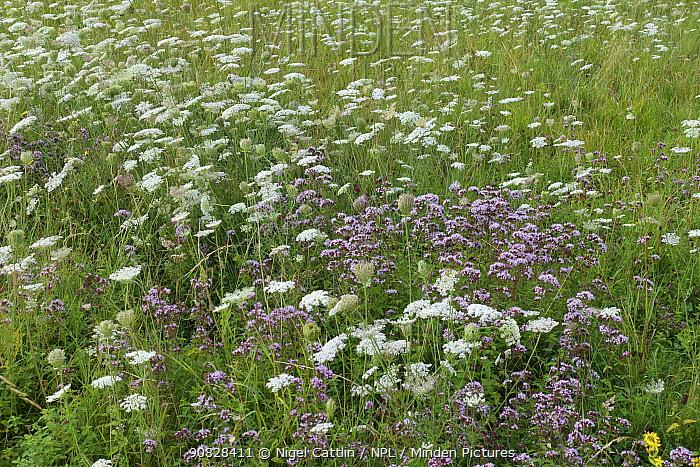 White flowering wild carrot (Daucus carota) and pink wild marjoram or oregano, (Origanum vulgare) flowering, Berkshire, England, UK, August