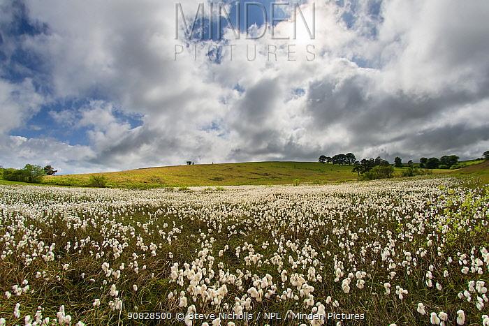Common cottongrass (Eriophorum angustifolium) growing in a valley bog, Mendip Hills, Somerset, England, UK, June.