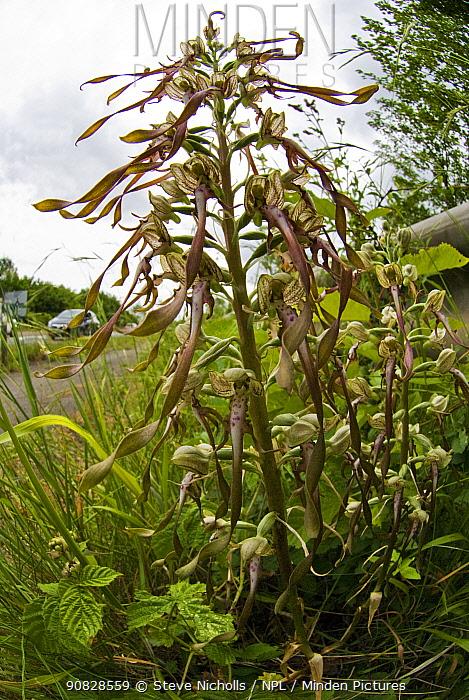 Lizard orchid (Himantoglossum hircinum) growing on road side verge near Bristol, UK, July.