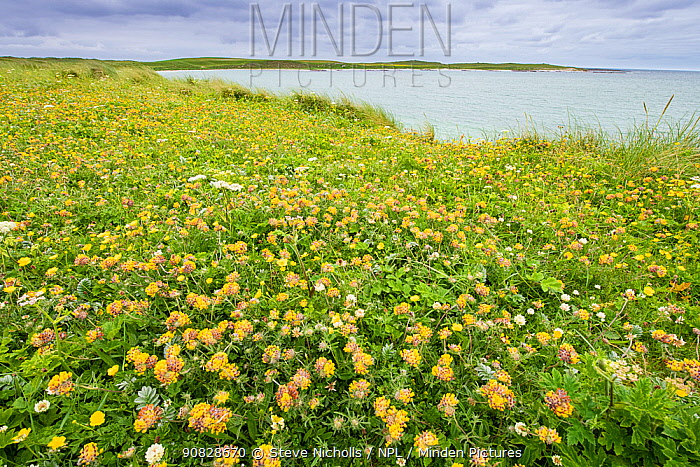 Kidney vetch (Anthyllis vulneraria) flowering on machair grassland at Balranald RSPB reserve, North Uist, Outer Hebrides, Scotland, UK, July.