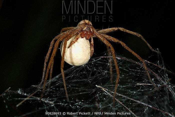 Nursery Web Spider (Pisaura mirabilis) female carrying egg sac, Provence, France  Robert Pickett/Visuals Unlimited/ naturepl.com