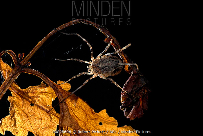 Harvestman (Phalangium opilio), UK. 