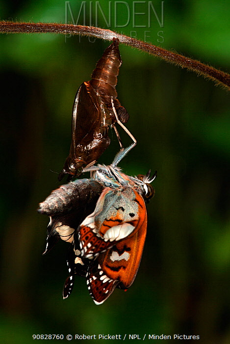 White Admiral Butterfly adult emerging from pupa (Ladoga camilla), UK. Sequence 12 of 19.  Robert Pickett/Visuals Unlimited/ naturepl.com