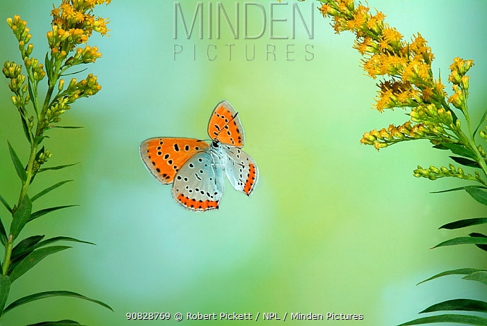 Large Copper Butterfly (Lycaena dispar) in flight through Goldenrod flowers. Captive special breeding group for release into the wild, extinct in the  UK.  Robert Pickett/Visuals Unlimited/ naturepl.com