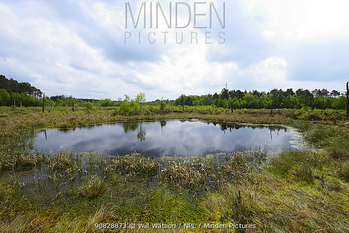Oligotrophic pool at Chartley Moss schwingmoor or floating peat bog with Common Cotton-grass ( Eriophorum angustifolium) and Sphagnum bog moss, AONB, SSSI and National Nature Reserve, Staffordshire, England, May