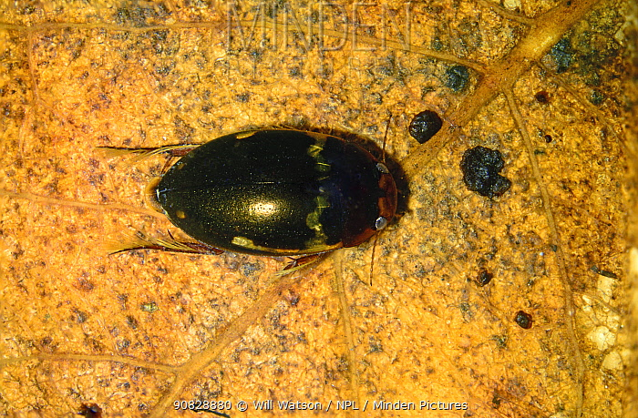 Stacked image of the predatory diving beetle (Agabus undulatus) kettle hole pond, Herefordshire, controlled conditons, July