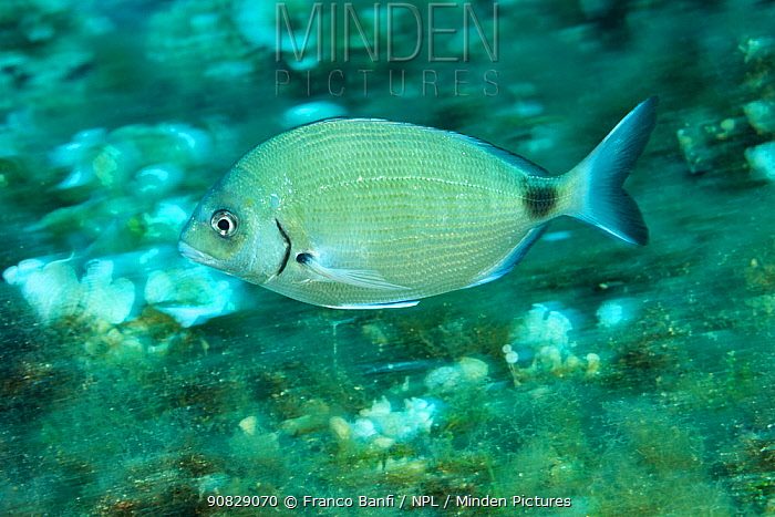 Sharpsnout seabream, (Diplodus puntazzo), Vis Island, Croatia, Adriatic Sea, Mediterranean