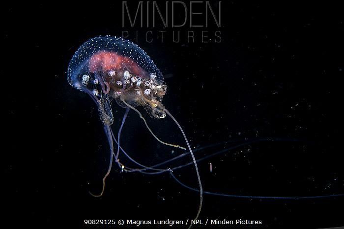 Mauve stinger (Pelagia noctiluca) with many hitch-hiking amphipods, Balayan Bay, Luzon Island, Philippines  Minimum fees apply.