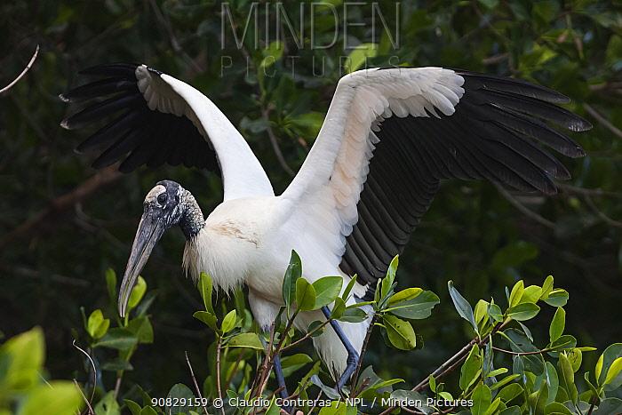 Wood Stork (Mycteria americana) flapping wings, Ria Celestun Biosphere Reserve, Yucatan Peninsula, Mexico, January