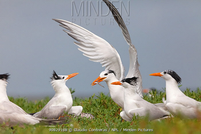 Royal Tern (Thalasseus / Sterna maxima) arriving at the breeding colony with fish in beak, Ria Lagartos Biosphere Reserve, Yucatan Peninsula, Mexico, July