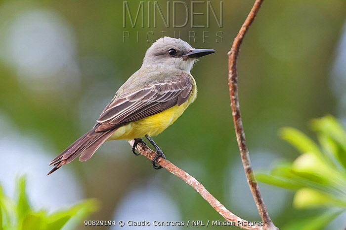 Tropical Kingbird (Tyrannus melancholicus), Ria Lagartos Biosphere Reserve, Yucatan Peninsula, Mexico, May
