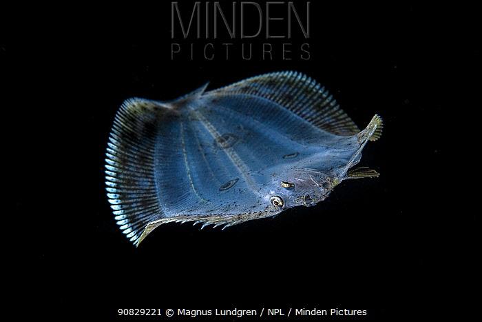 Larval three-spot flounder, or many-eyed flounder (Grammatobothus polyophthalmus) Balayan Bay, Luzon Island, Philippines  Minimum fees apply.