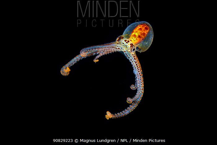 Long armed octopus, possibly a juvenile (Octopus sp) Bay, Luzon Island, Philippines 