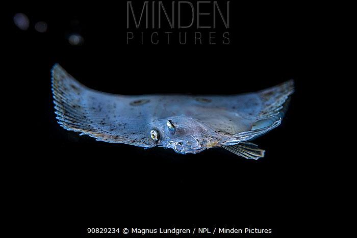 Larval Three-spot / Many-eyed flounder, (Grammatobothus polyophthalmus) Balayan Bay, Luzon Island, Philippines  Minimum fees apply.
