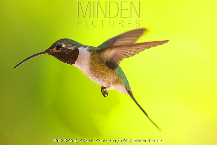Mexican Sheartail Hummingbird (Doricha eliza) male flying, Ria Celestun Biosphere Reserve, Yucatan Peninsula, Mexico, August