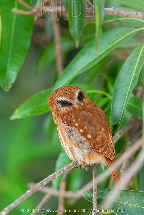 Ferruginous pygmy owl (Glaucidium brasilianum), false eye markings on the back of the neck, Pantanal, Mato Grosso, Brazil.