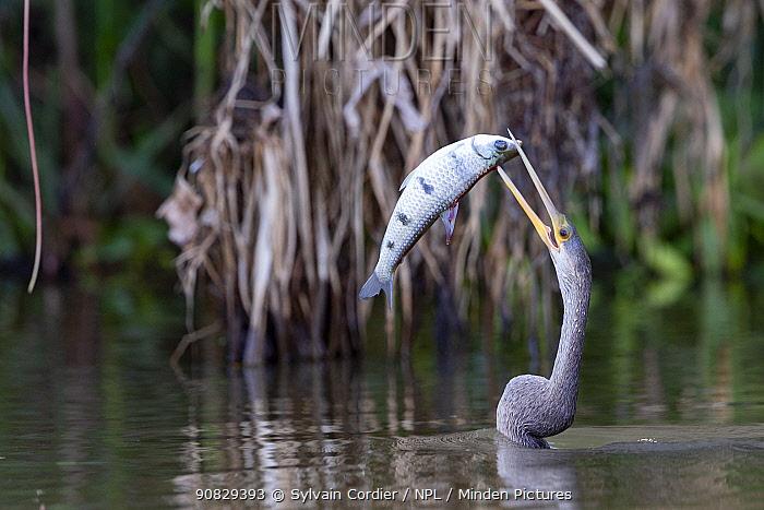 Anhinga / Snakebird (Anhinga anhinga), with a fish Pantanal, Mato Grosso, Brazil.