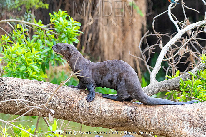 RF - Giant otter (Pteronura brasiliensis), resting on a branch above water, Pantanal, Mato Grosso, Brazil. (This image may be licensed either as rights managed or royalty free.)