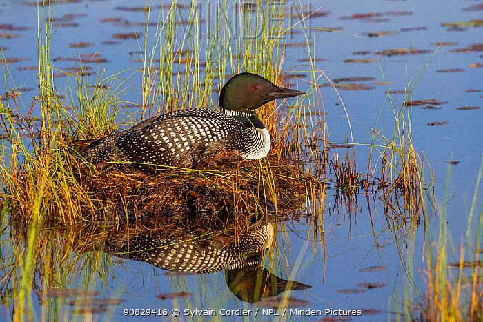 RF - Common loon (Gavia immer) on nest in lake, Michigan, USA. June. (This image may be licensed either as rights managed or royalty free.)